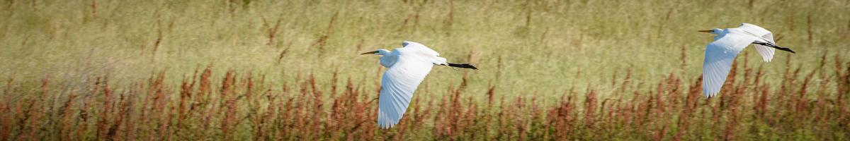Photo of egrets flying over a wetland