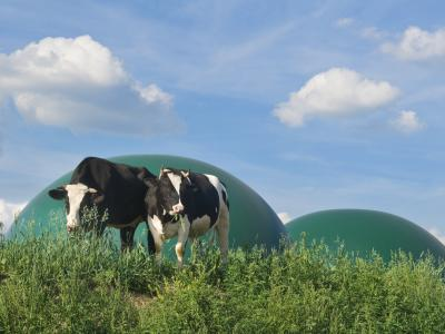 cows in front of biogas plant